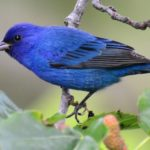 My Quest for an Indigo Bunting