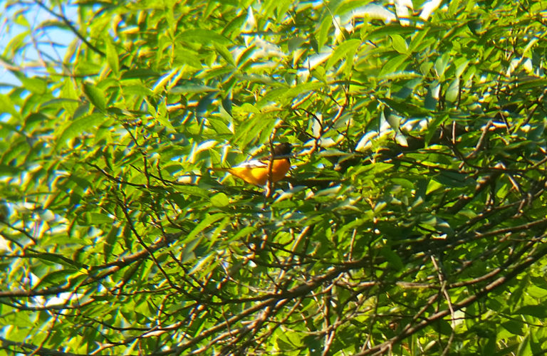 BaltimoreOriole_082716